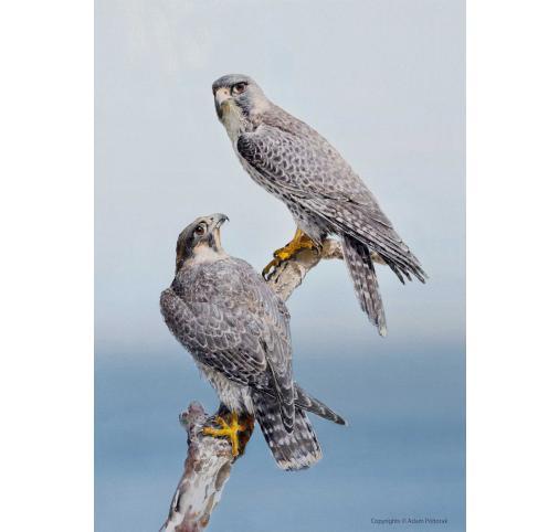 Falcons Peregrinus / Sokoły wędrowne / Falcons