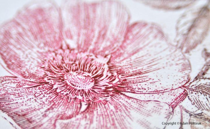 rose róza Adam Poltorak