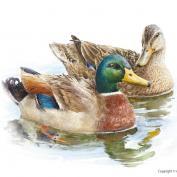 Mallard / Wild duck
