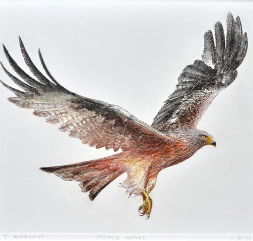 Red kite /Kania ruda / Milvus milvus